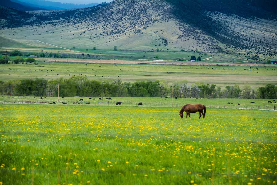 Field in Montana with flowers and horse