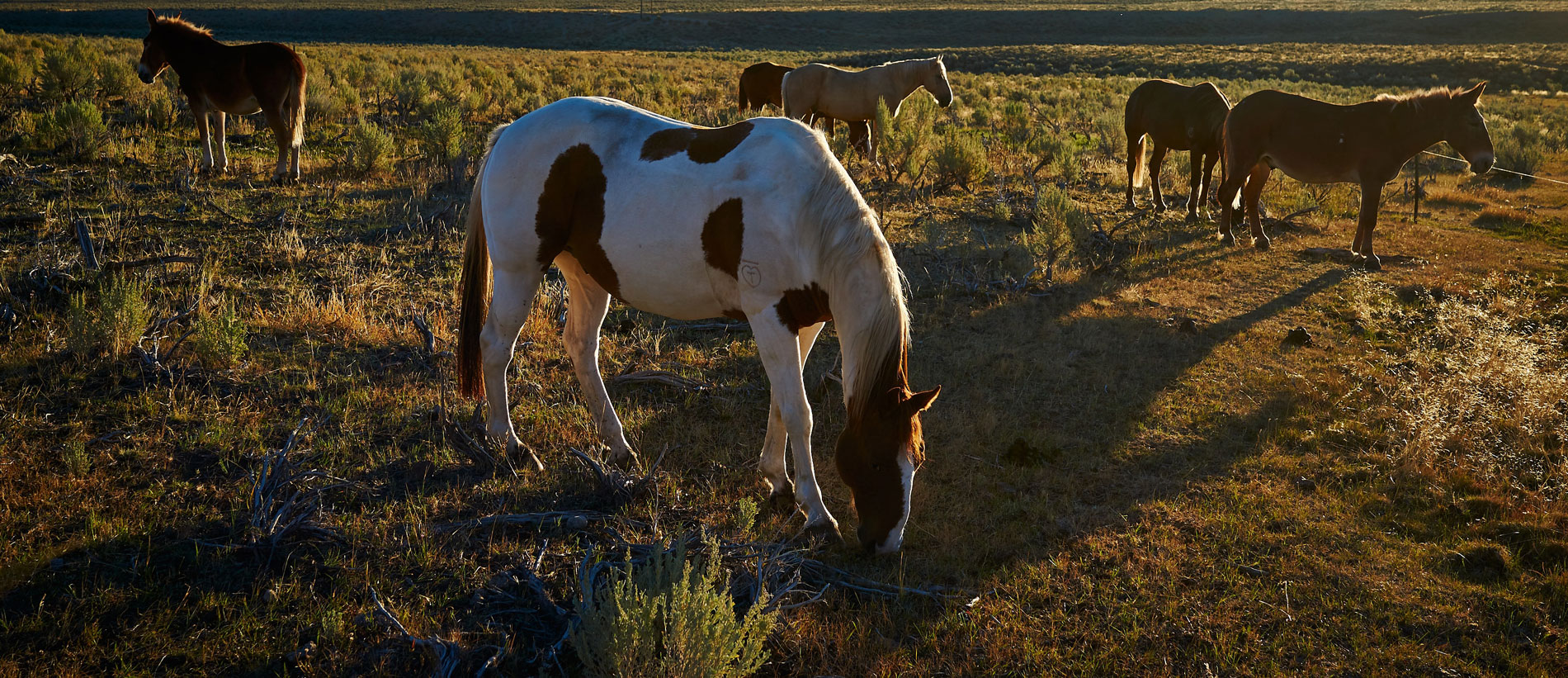 horse grazing on Idaho plains field